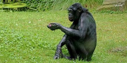 Bonobo affen sexualverhalten